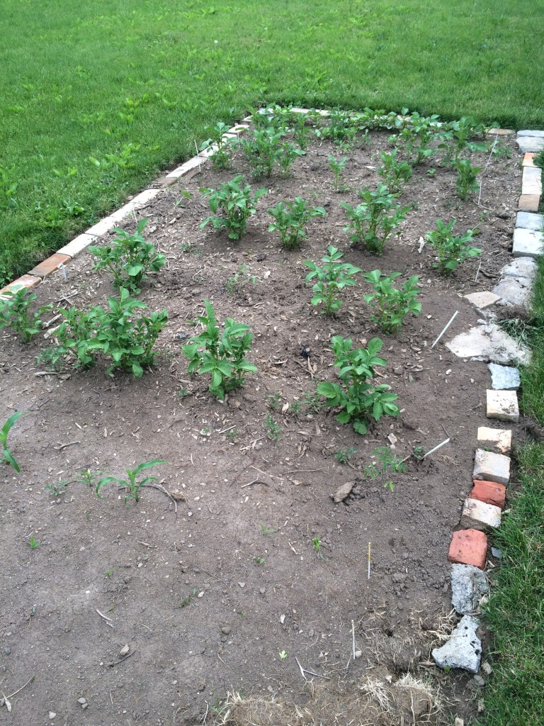 Things are looking good, except the things that disappeared after I planted them.